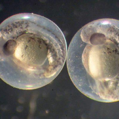 روشی استاندارد برای ارزیابی سمیت نانومواد با استفاده از جنین ماهی